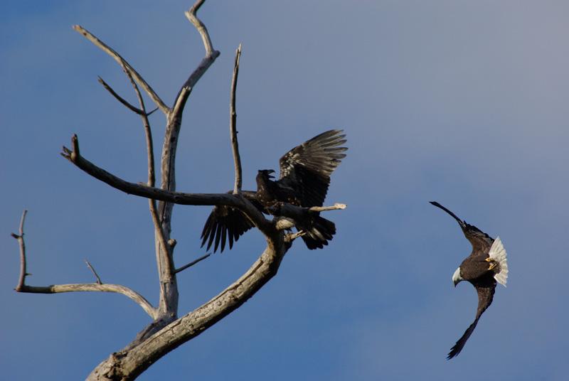 Eagle Nesting & Young - National Eagle Center