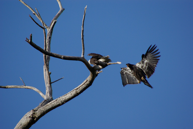 How Do Eagles Teach Their Young to Fly? | Reference.com