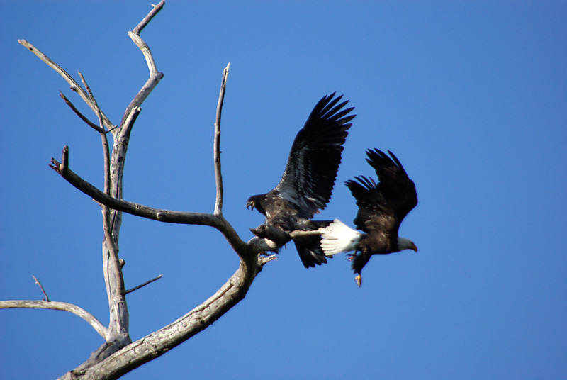ornithology - What species of eagle pushes their young to ...