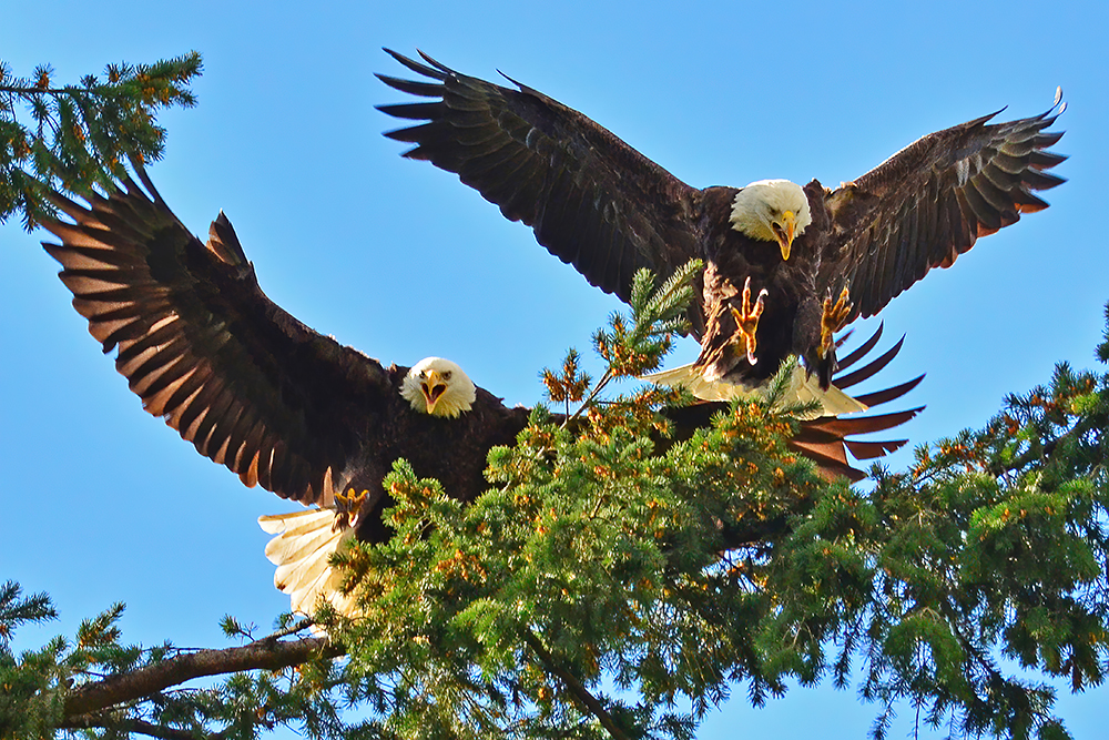 Bald Eagles Landing